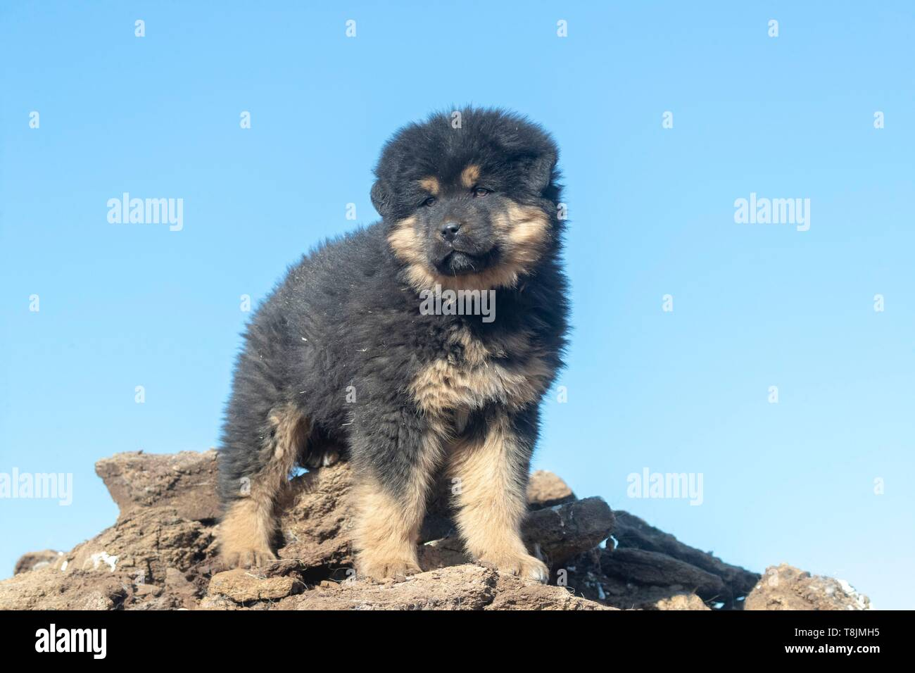 Mongolia, East Mongolia, Steppe area, Tibetan Mastiff is a large Tibetan dog breed (Canis lupus familiaris), 5 months old - Stock Image