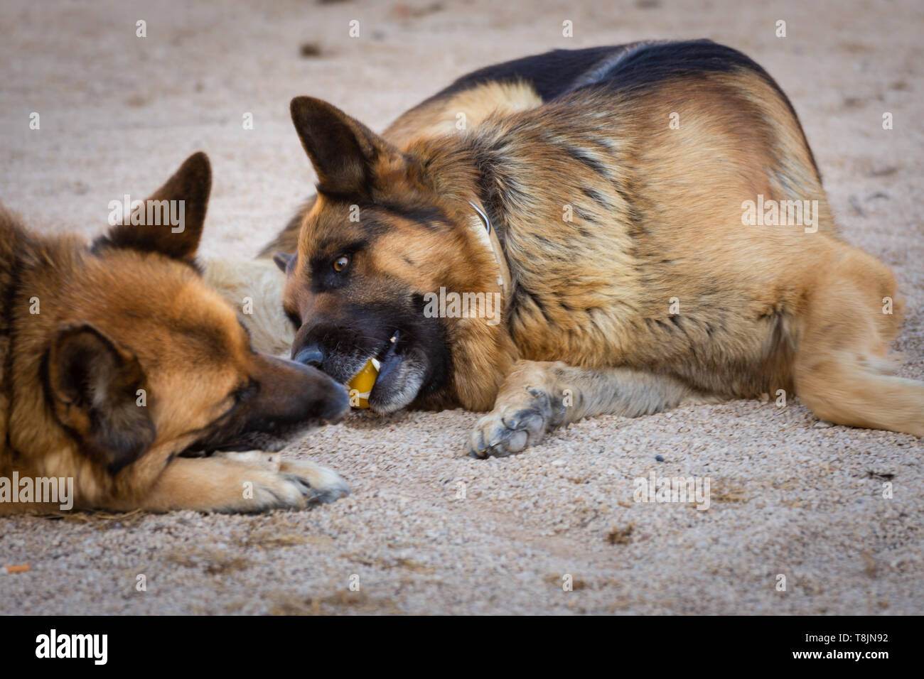 Two dogs playing with a ball. Two German shepherds playing with a yellow ball. Pets portrait. Outdoor natural portrait - Stock Image