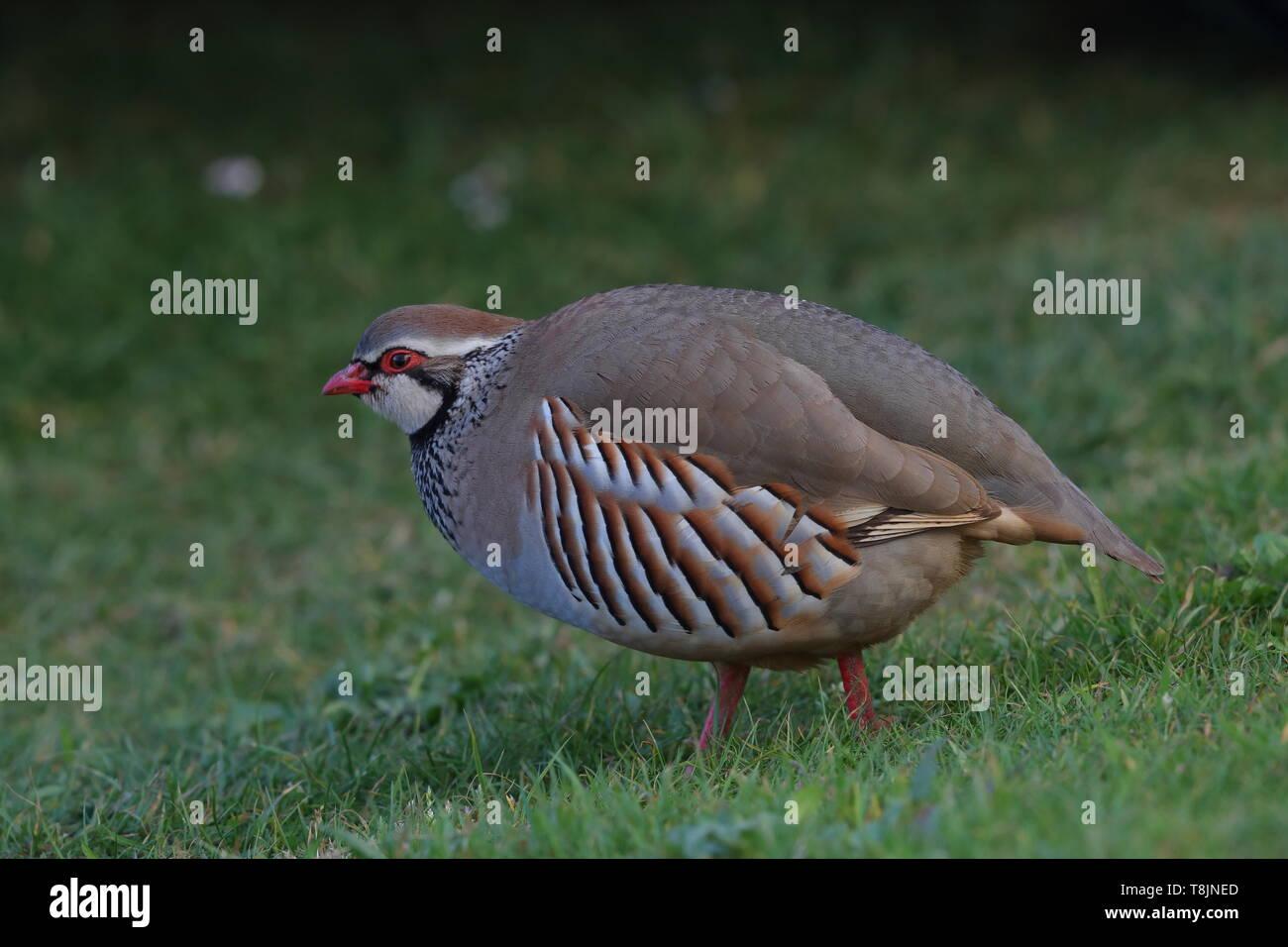 Red-legged Partridge - Stock Image