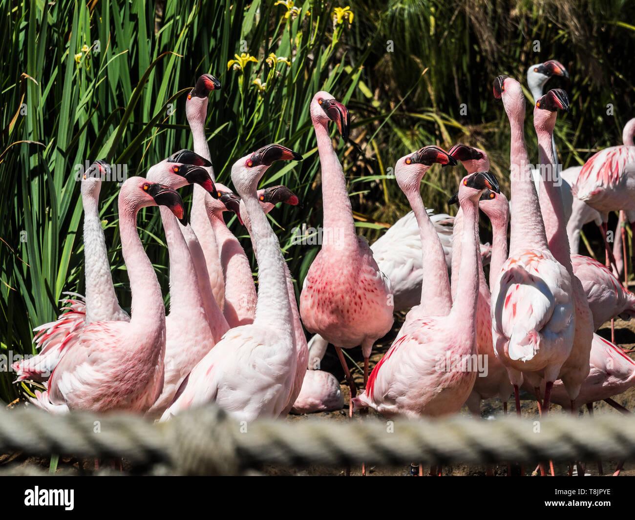 lesser flamingos Phoeniconaias minor of the largest flock in north america Stock Photo