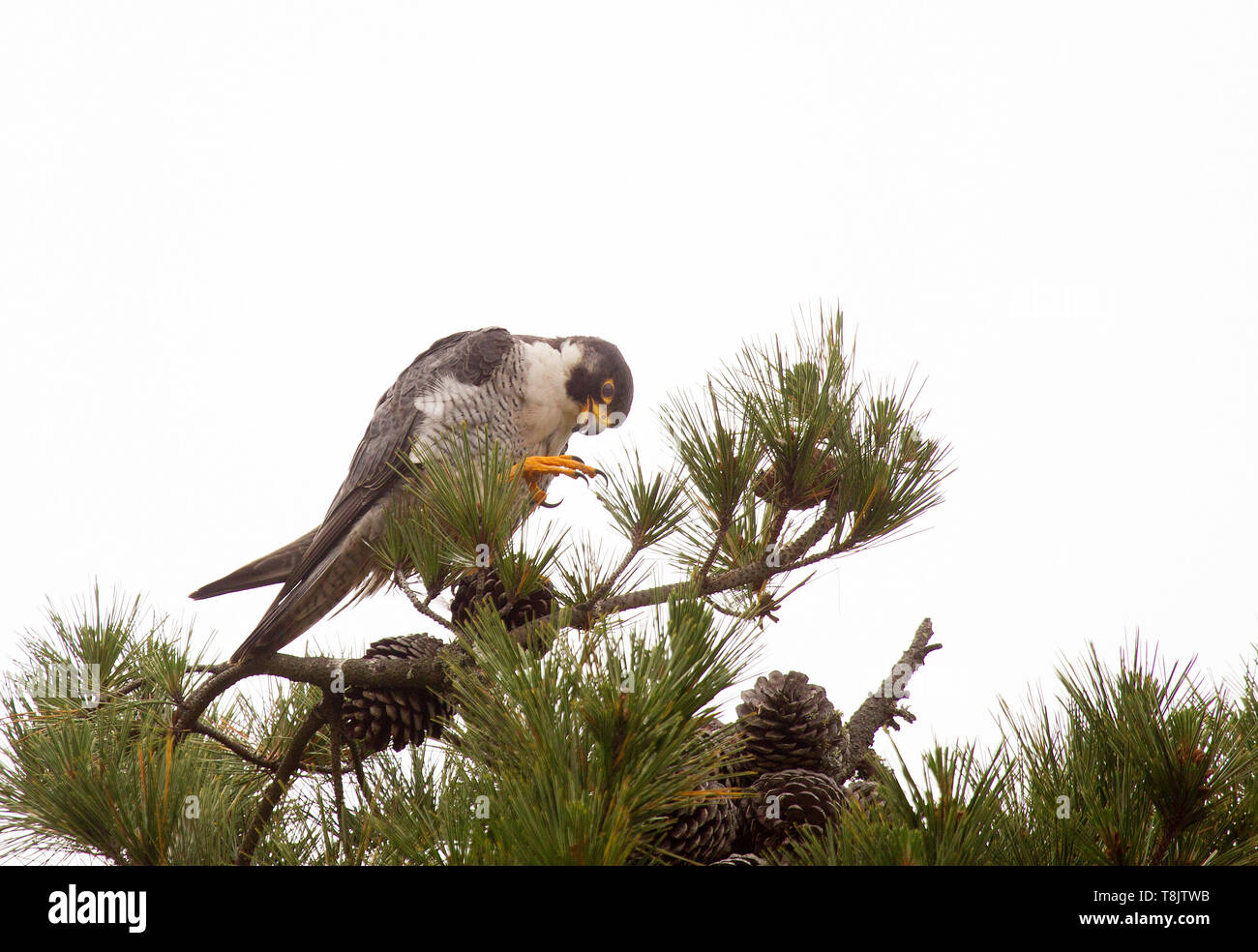Peregrine Falcon Adult Perched on top of Pine Tree - Stock Image