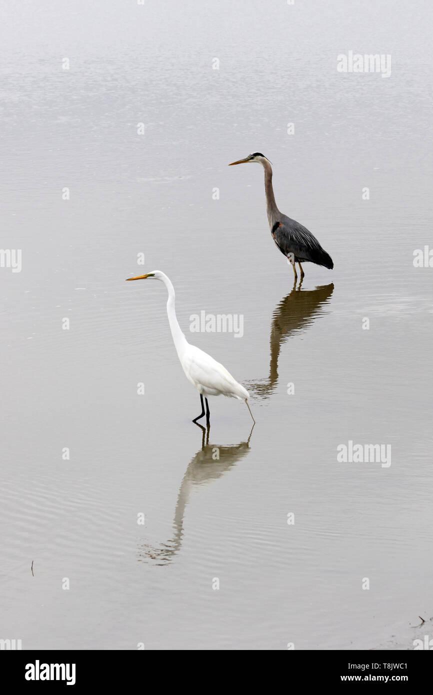 A Great Egret, Ardea alba, and a Great Blue Heron, Ardea herodias, together in a salt marsh. Edwin B. Forsythe National Wildlife Refuge, New Jersey, U - Stock Image