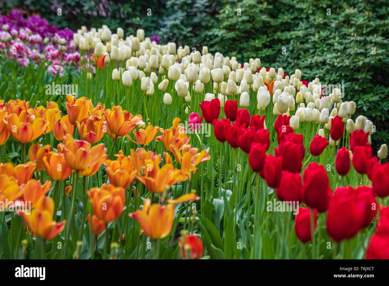Multi-colored tulips & tulip bed - Keukenhof Gardens - spring flowers in Holland - Tulips in the Netherlands - Tulipa species - Liliaceae family - Stock Image