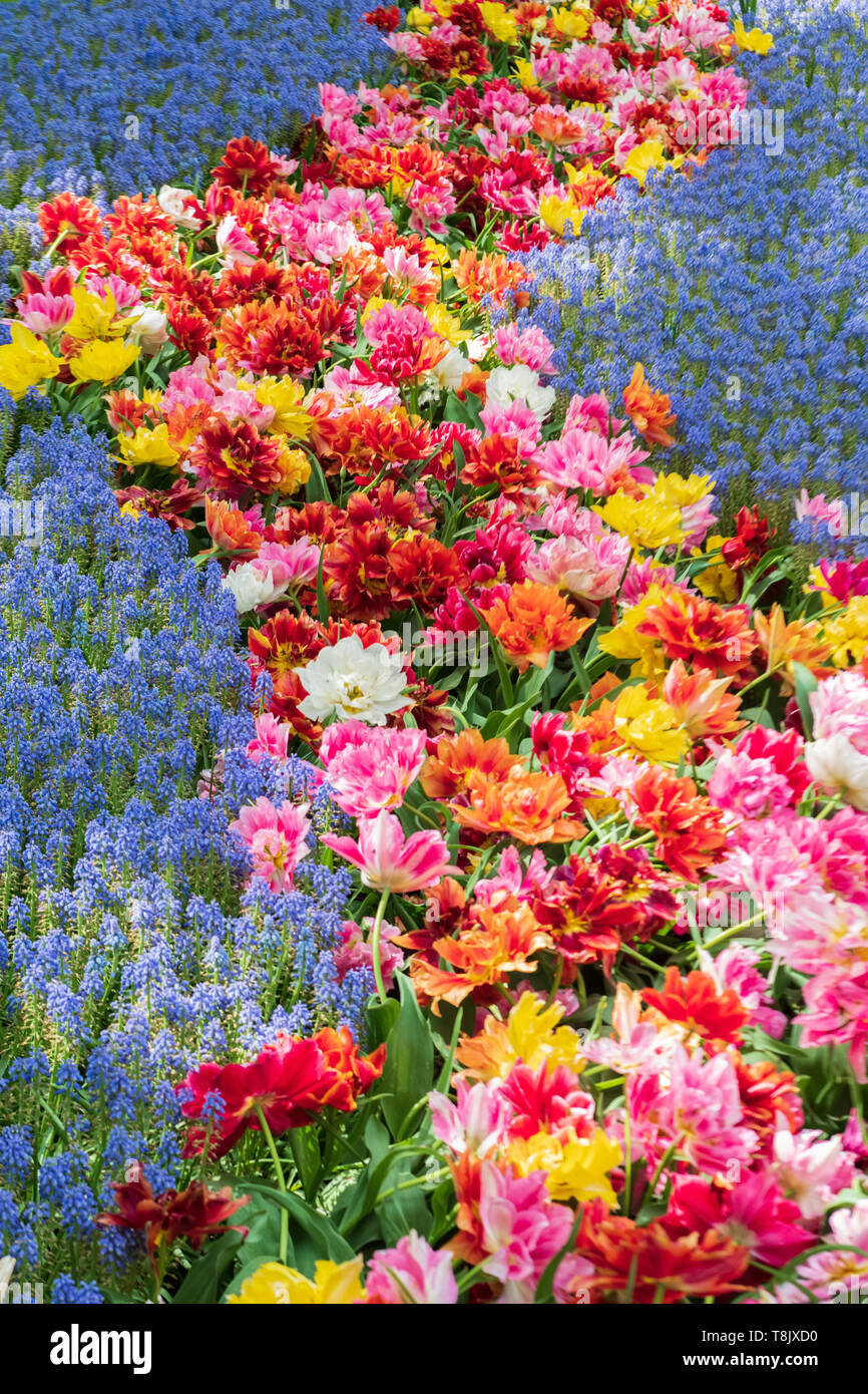 Multi-colored tulips & tulip bed & grape hyacinth Muscari - Keukenhof Gardens - spring flowers in Holland - Tulips in the Netherlands - - Stock Image