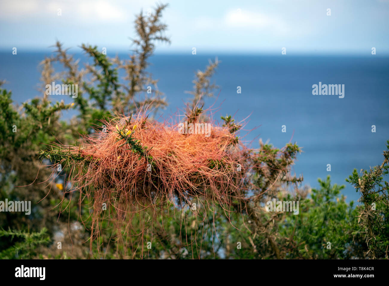 Cuscuta epithymum, a parasitic plant assigned to the Cuscutaceae or Convolvulaceae family, Asturias, Spain - Stock Image