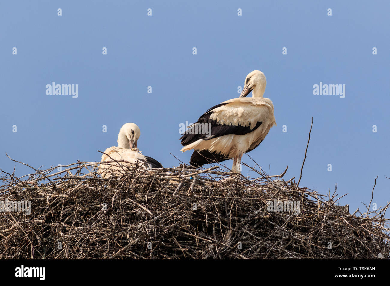 details with two white storks on nest, Romania - Stock Image