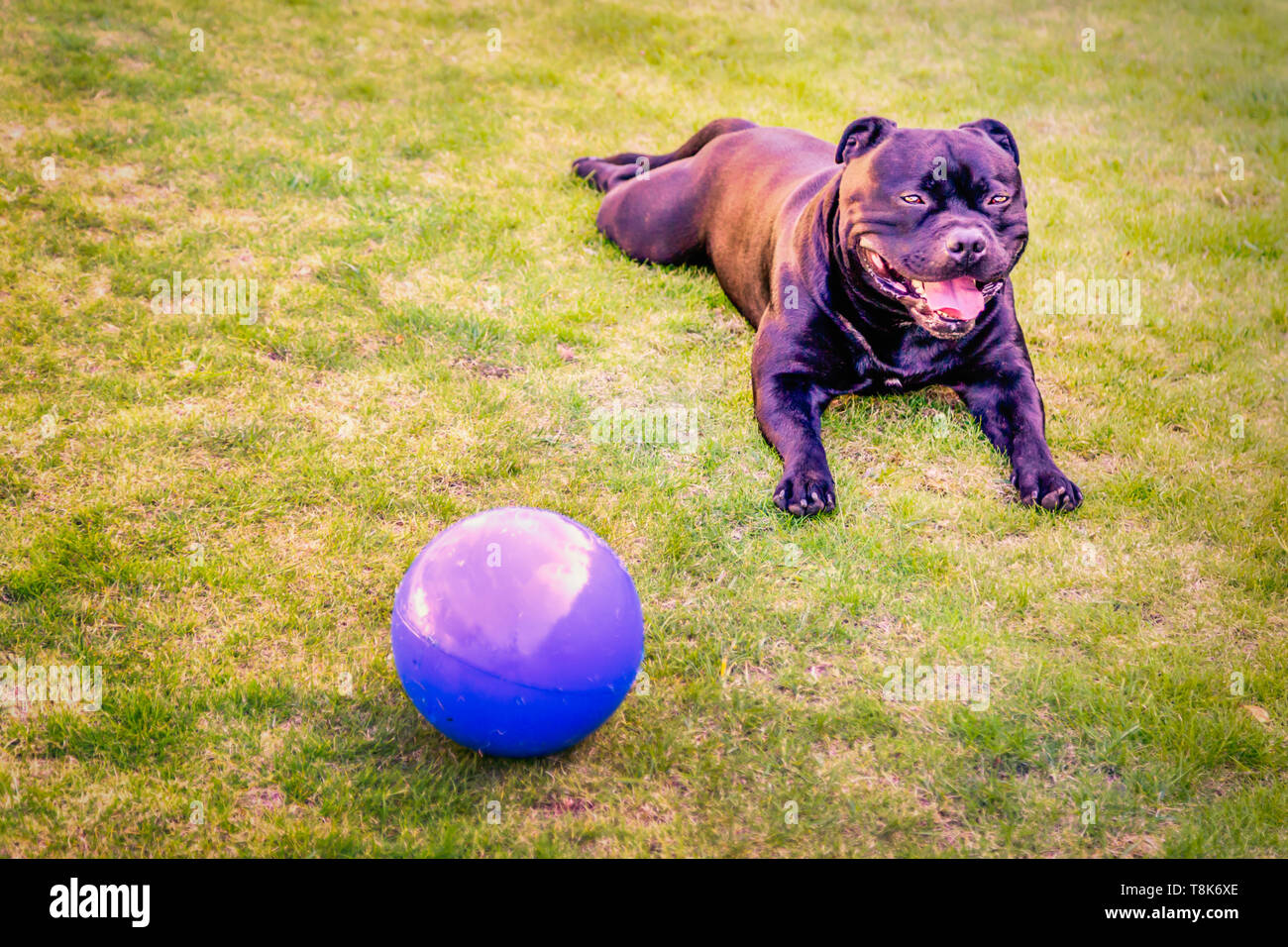 Happy relaxed handsome Staffordshire Bull Terrier dog lying down, flat out, with his legs forward on grass with a big blue ball next to him. His silky - Stock Image