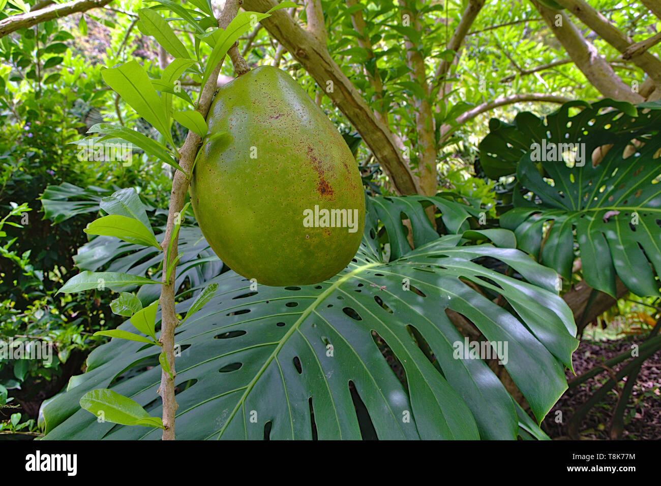 calabash fruit and monstera leaf - Stock Image