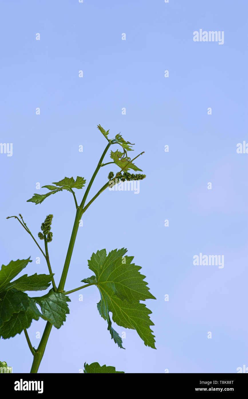 new green grape vine with flower inflorescences in the spring with blue sky background Stock Photo