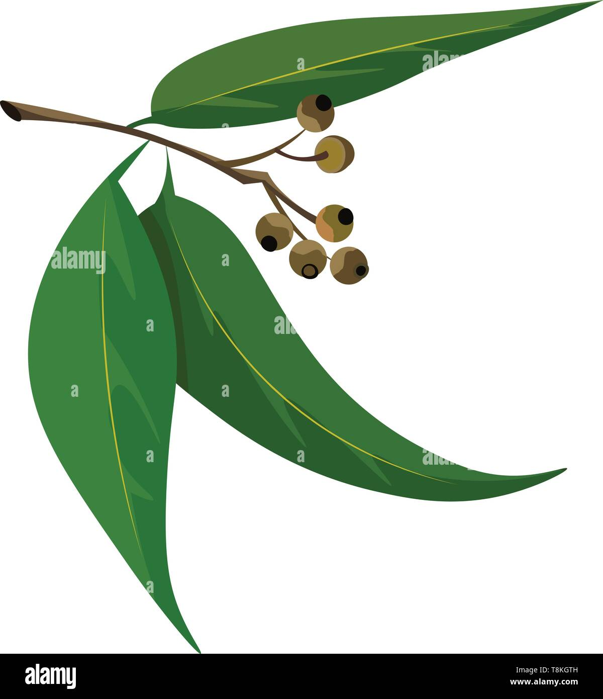 A color illustration of eucalyptus leaves with stem, vector, color drawing or illustration. - Stock Vector