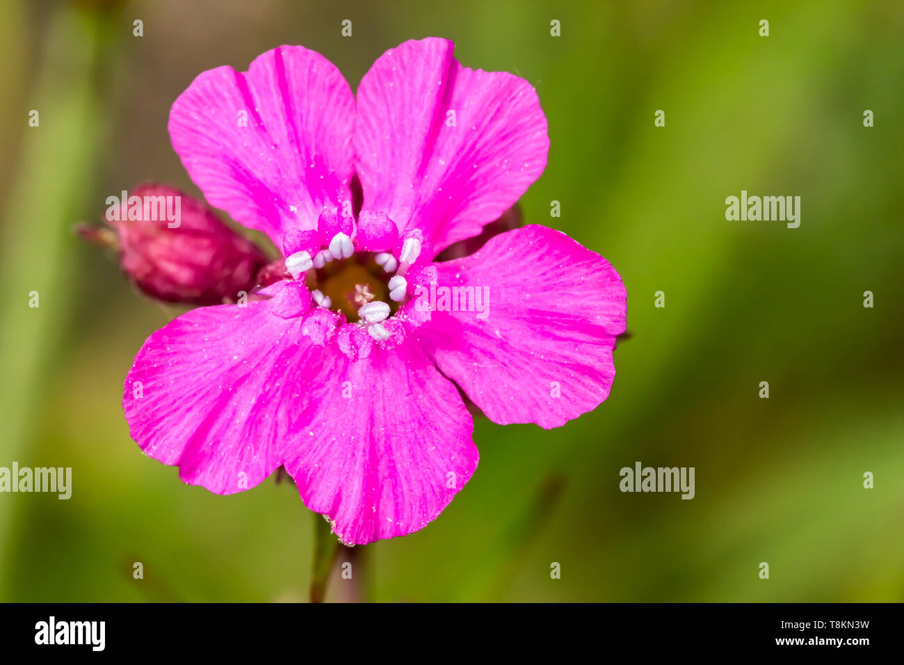 Colour macro photograph of single isolated red campion flower on blurred green background. Poole, Dorset, England. Stock Photo