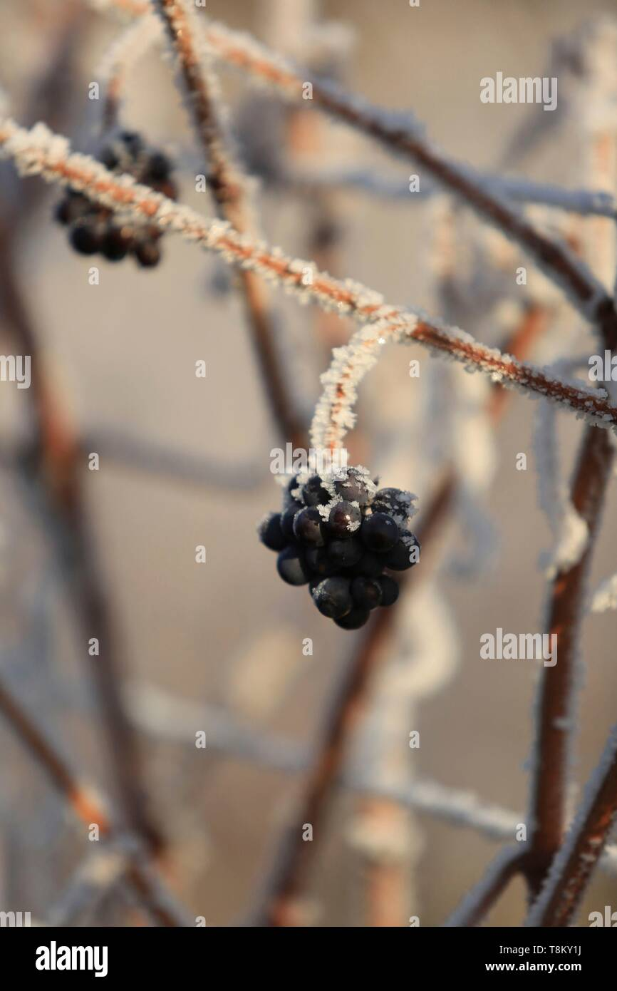 France, Bas Rhin, Alsatian vineyards in winter at the foot of the castle of Haut Koenigsbourg Stock Photo