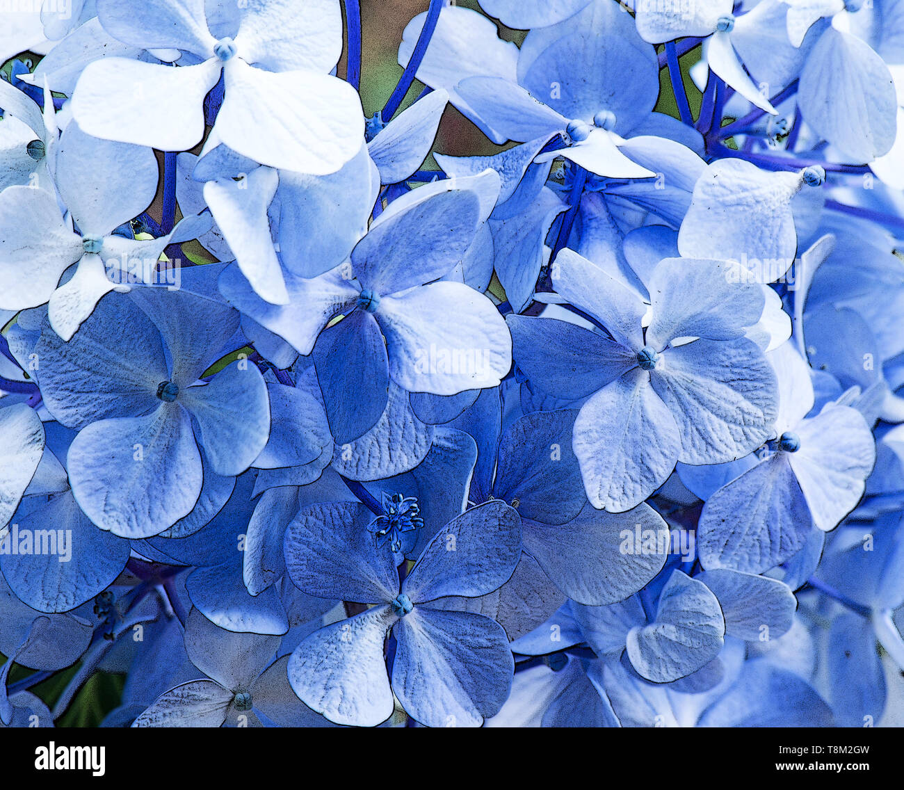 Hydrangeas background - Stock Image