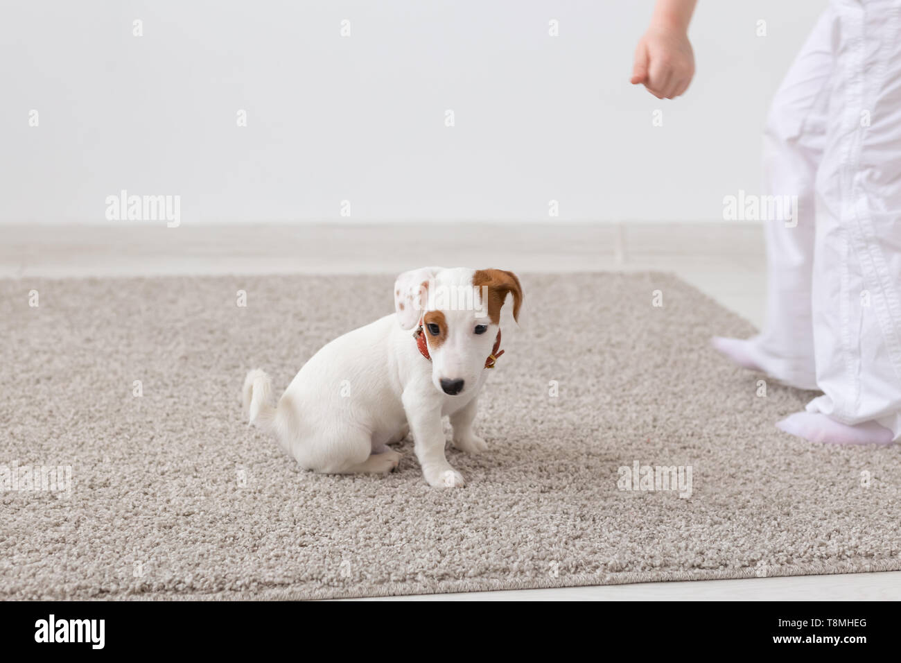 pets, animals and domestic concept - little Jack Russell Terrier puppy sitting on a carpet in living room - Stock Image