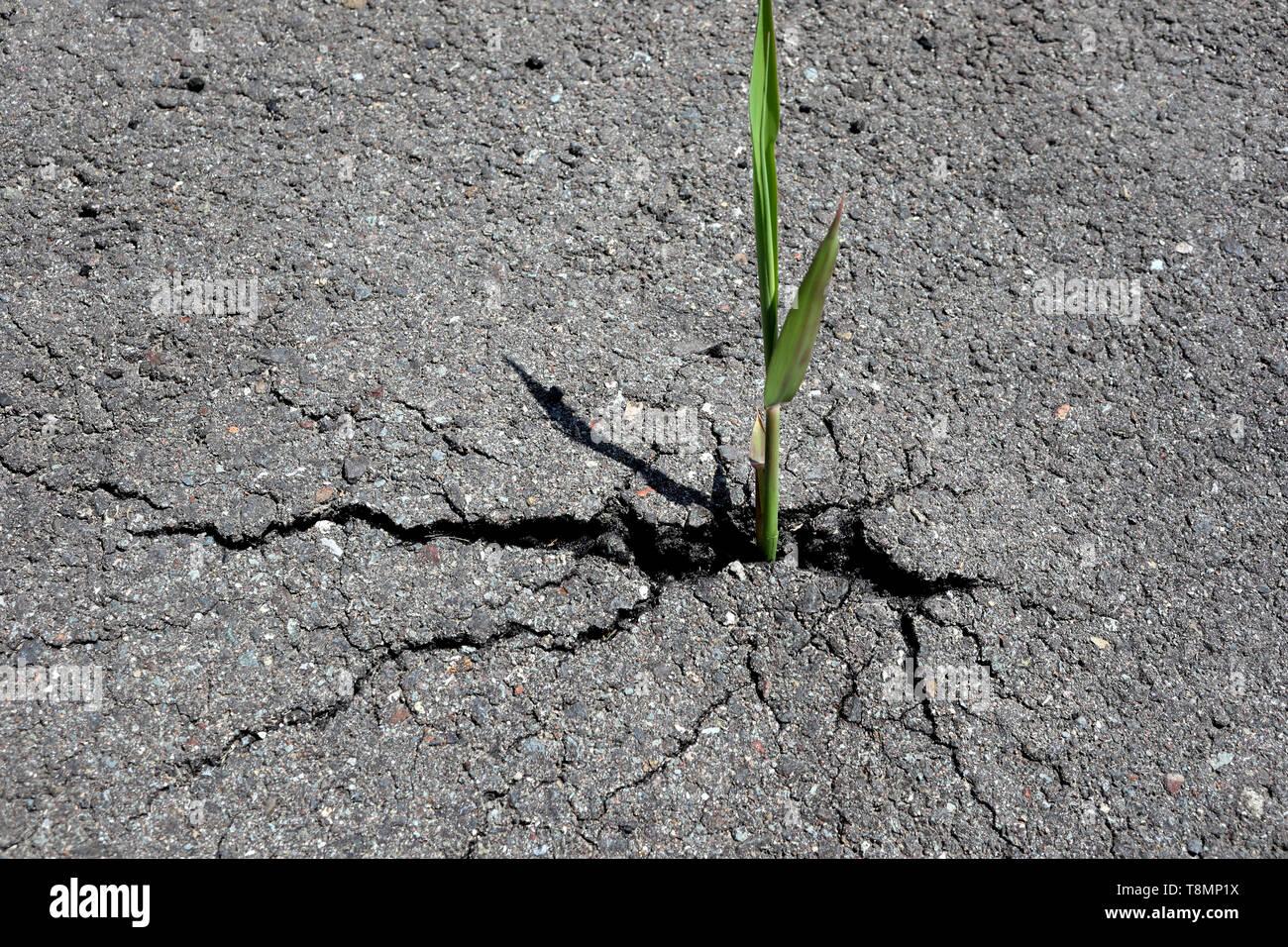 Reed bursting through tarmac road, Japan - Stock Image