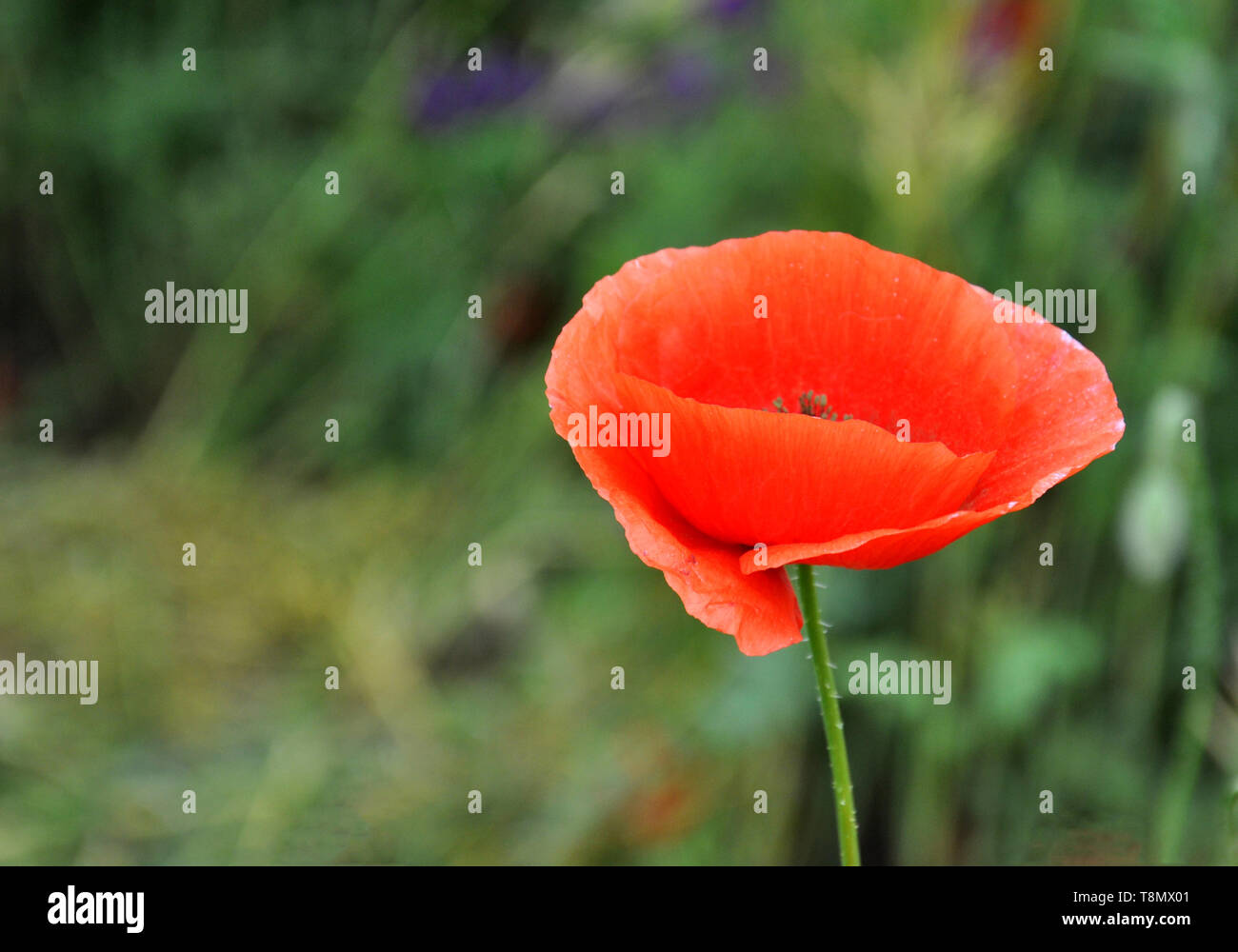 Red poppy on a green field on a sunny day. Spring field of poppies. - Stock Image