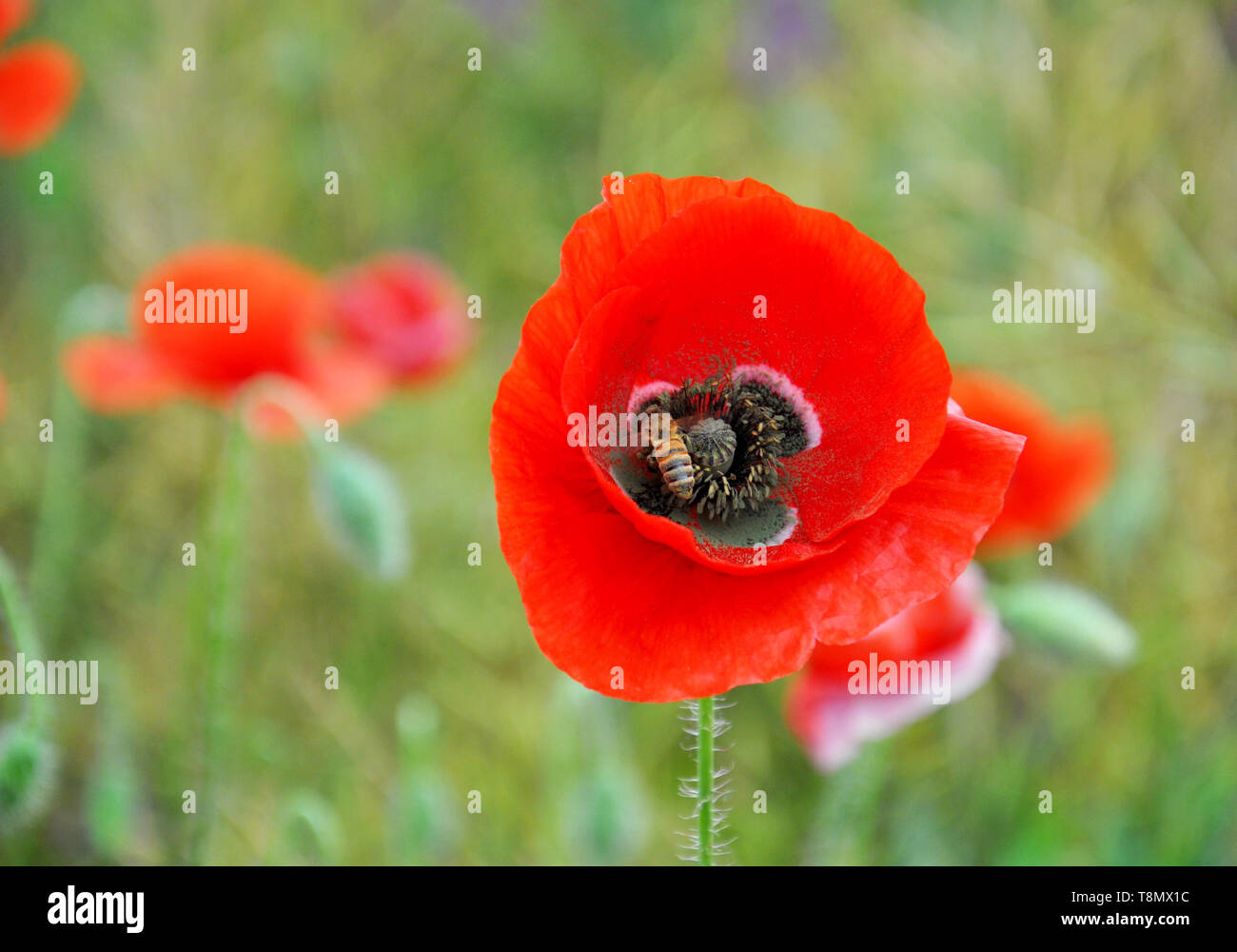 Red poppy and bee on a green field on a sunny day. Spring field of poppies. - Stock Image
