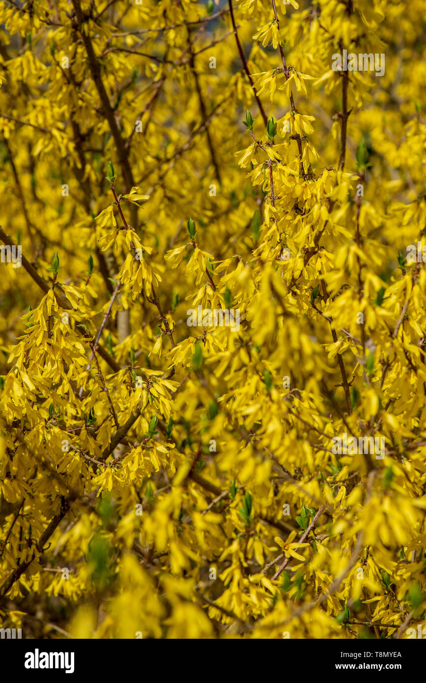 Bright Yellow Blossoms On The Bushes And Tree Branches In Spring