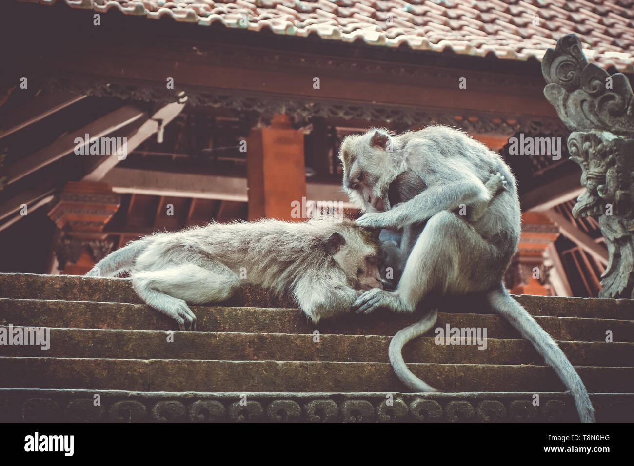 Monkeys on a temple roof in the sacred Monkey Forest, Ubud, Bali, Indonesia - Stock Image