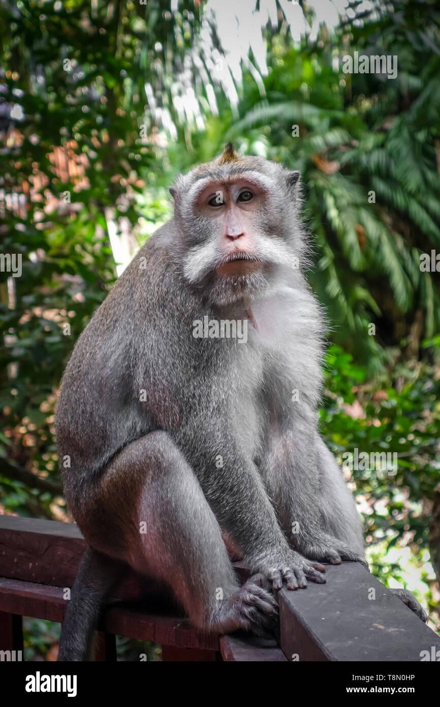 Monkey in the sacred Monkey Forest, Ubud, Bali, Indonesia - Stock Image