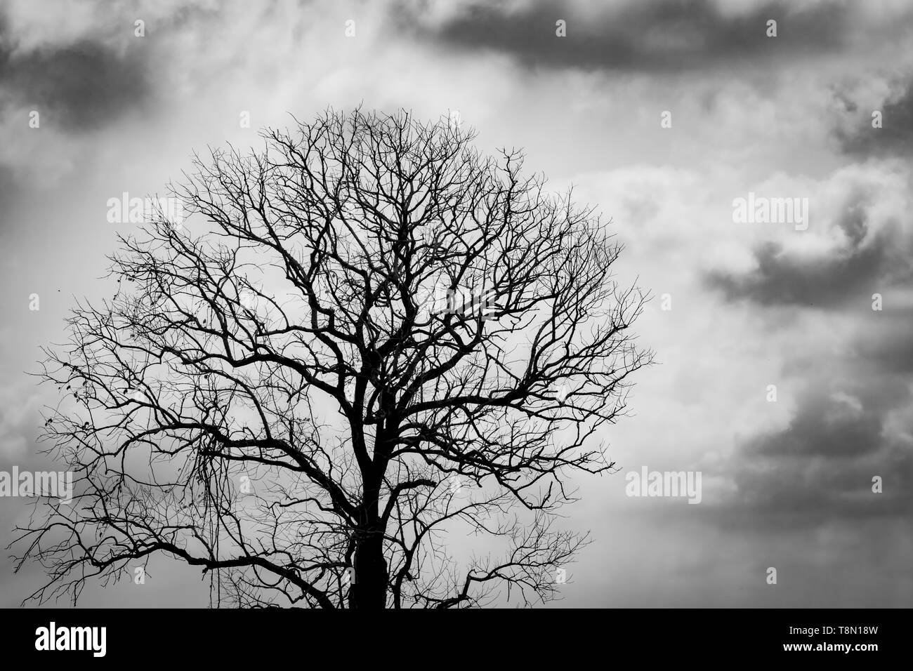 Silhouette leafless tree. Silhouette dead tree on dark dramatic sky and clouds background for scary or death. Halloween day background. Hopeless - Stock Image