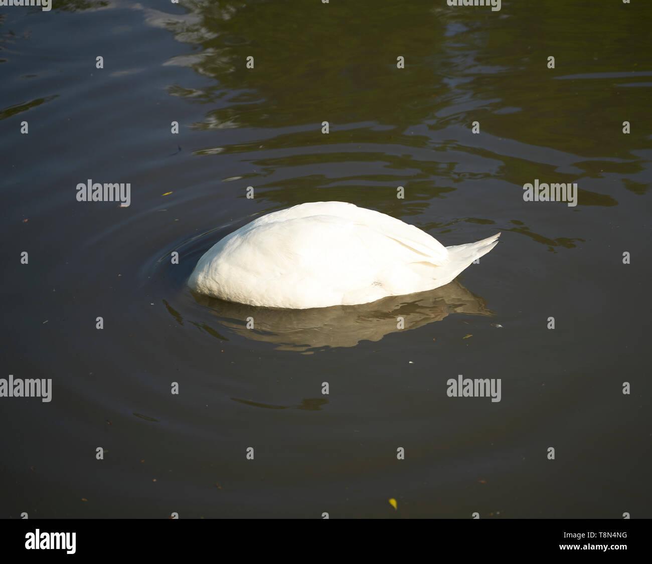 Swan with head underwater - Stock Image