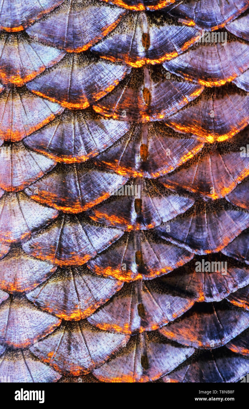 Fish (Roach, Rutilus rutilus) scale close-up. The row of lateral line scales is visible in the middle of the image. - Stock Image