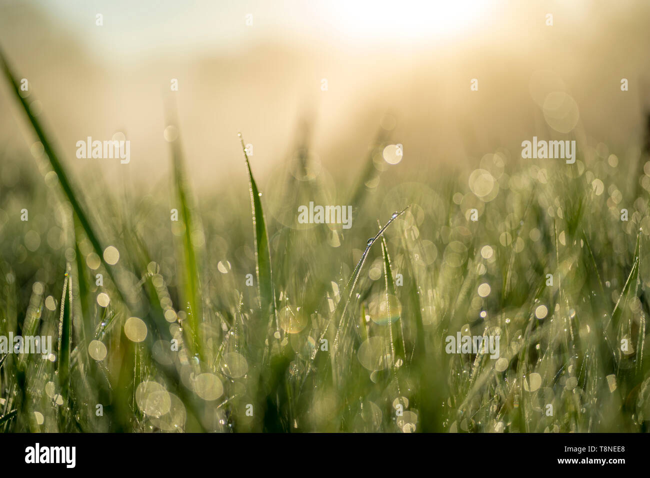 Green blade of grass close-up with dew drops. - Stock Image