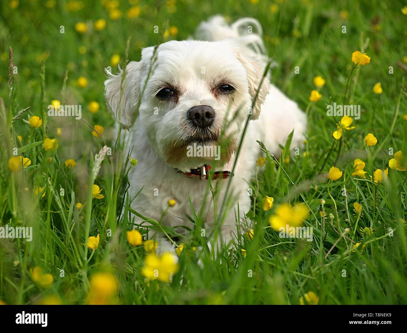 Cute Maltese dog on a meadow - Stock Image