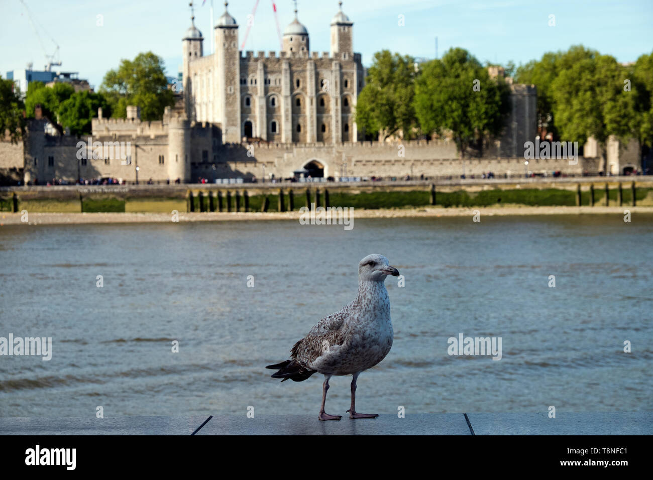 Gull waiting for titbits on a wall on the River Thames in front of the Tower of  London England - Stock Image