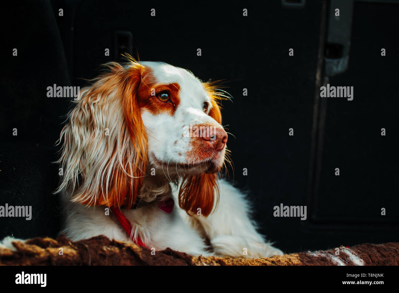cute dog in car on a red lead with long ears - Stock Image