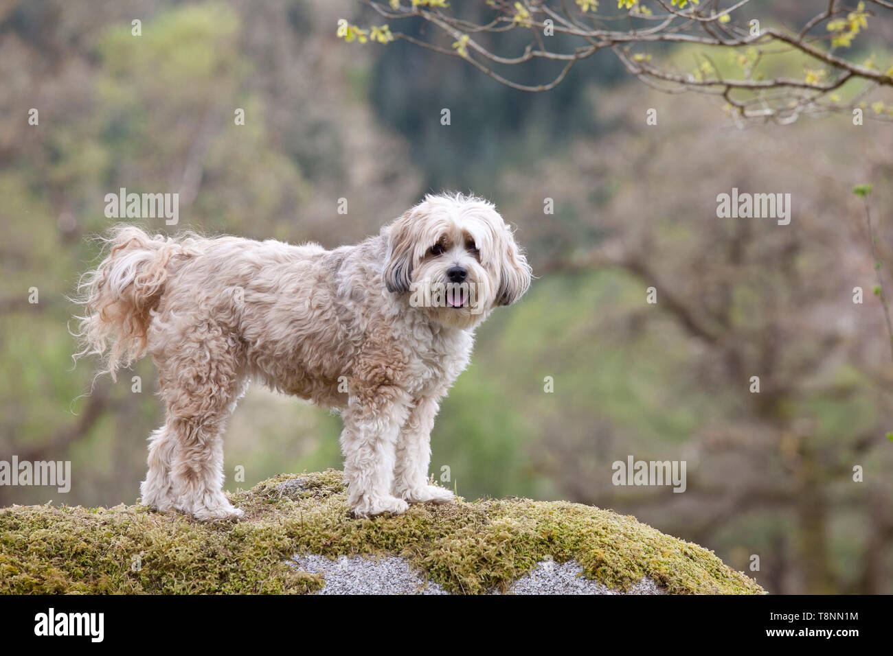 Tibetan Terrier dog standing on a rock - Stock Image