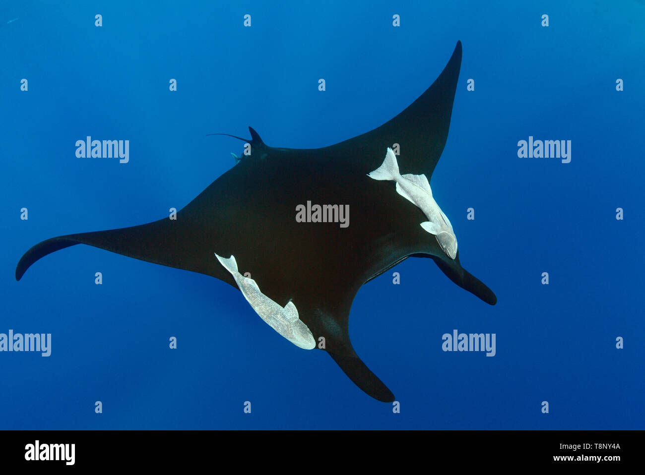 Black oceanic manta (Mobula birostris) swimming in the blue with sun rays - underwater scenery of Revillagigedo Archipelago Stock Photo