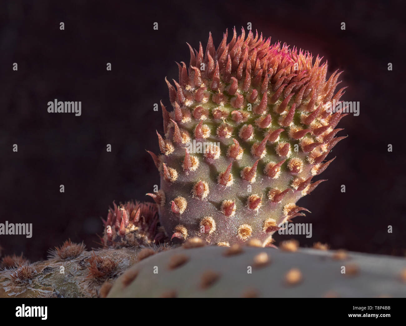macro of a new emerging branch on a california beavertail cactus pad showing the tiny red leaves on a black background - Stock Image