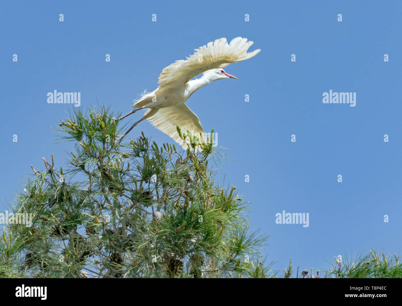 a graceful cattle egret flying away from an aleppo pine tree with a pure blue sky in the background - Stock Image