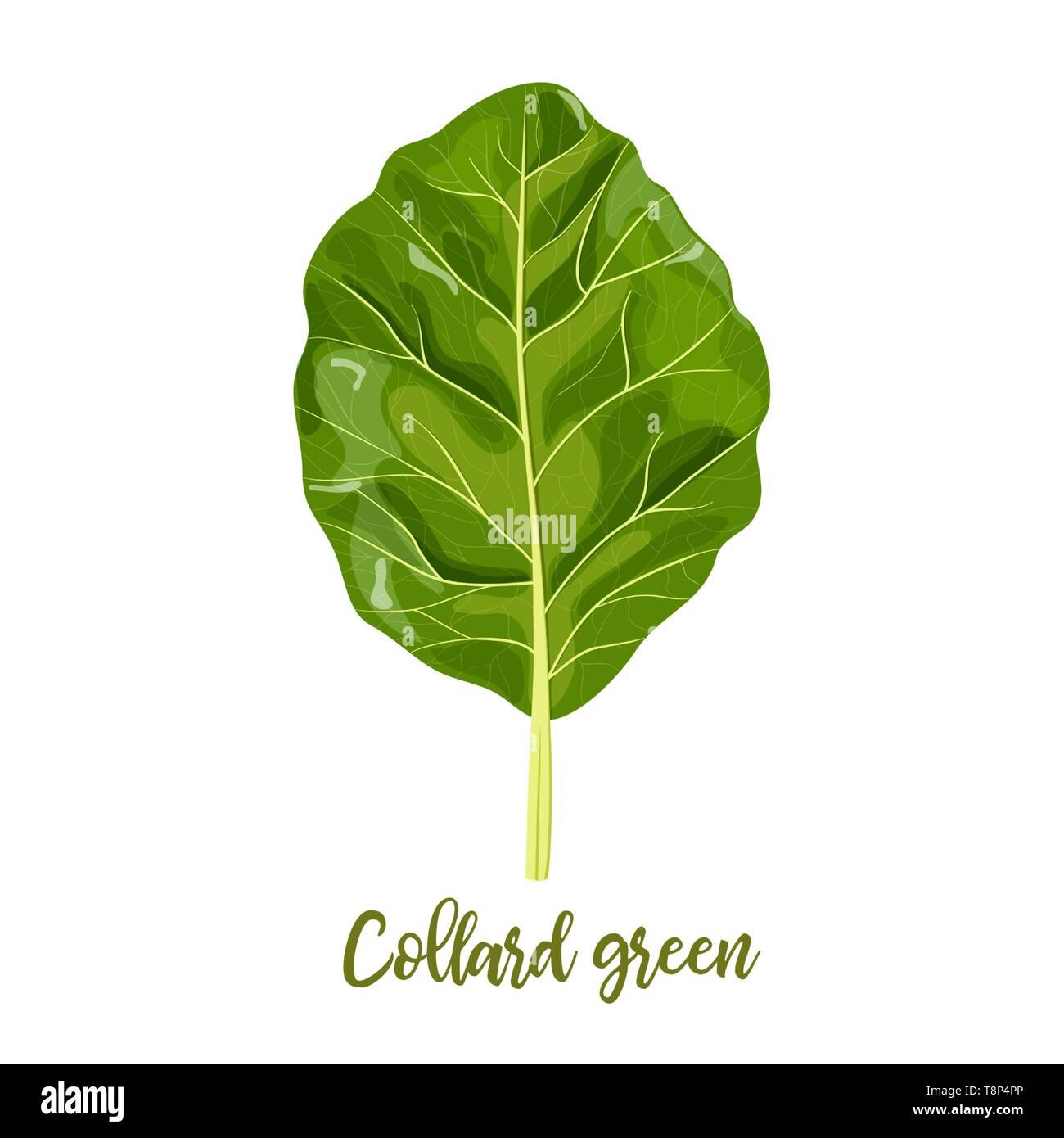 Collard greens leaves. Collards, Brassica oleracea, Acephala. Food concept. Fresh juicy raw cabbage. Healthy diet, vegetaria - Stock Vector