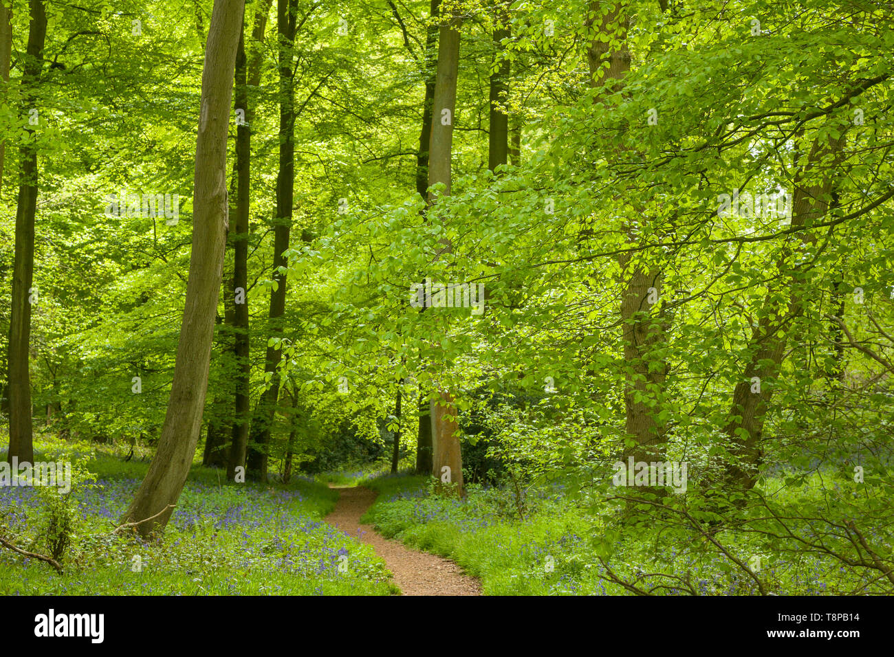Beech woods in Spring with bright fresh green foliage and bluebells near Henley-on-Thames, Oxfordshire - Stock Image
