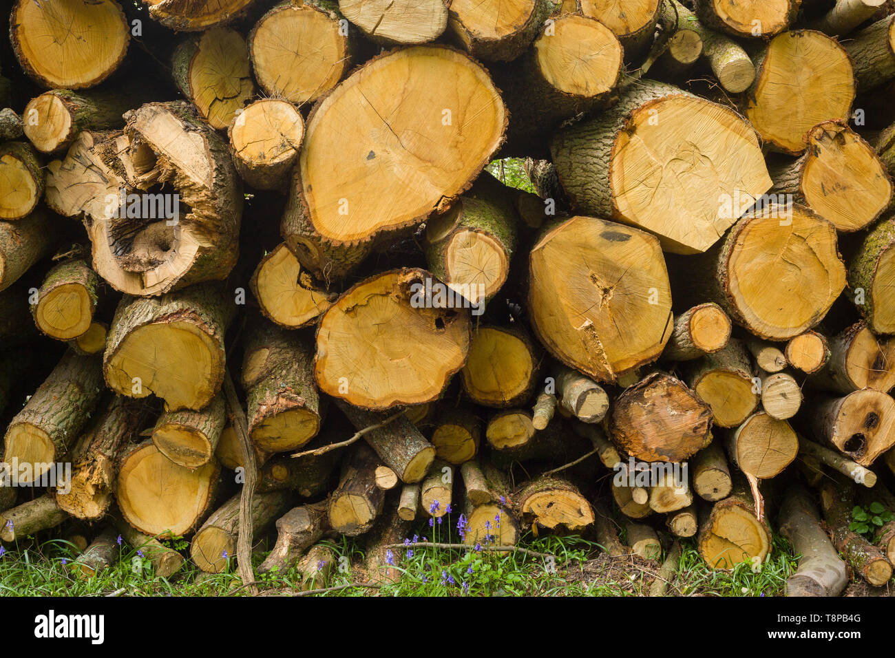 Sawn Beech wood logs with Bluebells in woods near Henley-on-Thames, Oxfordshire - Stock Image