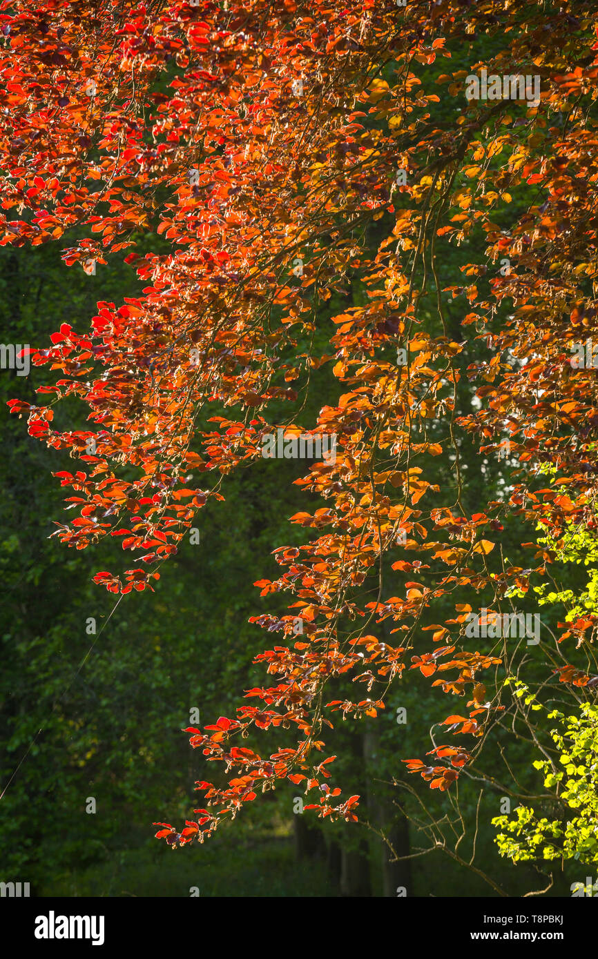 The evening sun shines through leaves of the Copper Beech tree, Fagus sylvatica f. purpurea, near Henley-on-Thames - Stock Image