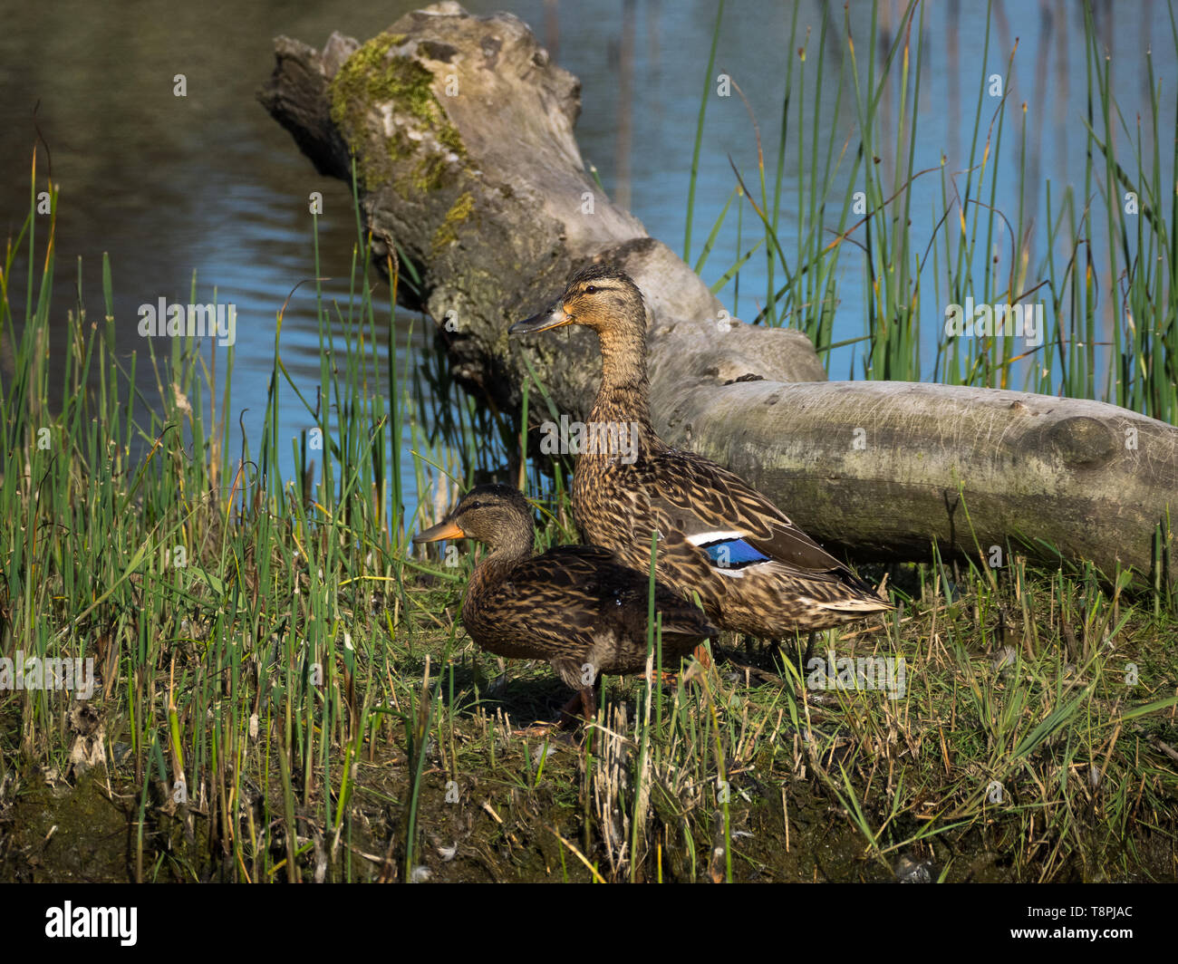 Female mallard with duckling Stock Photo