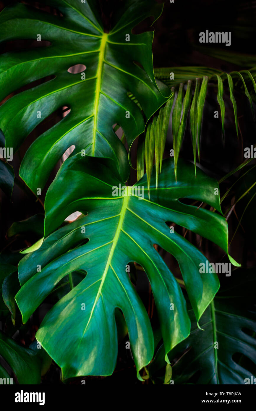 monstera leafs on dark Exotic Summer with green leaves - Stock Image