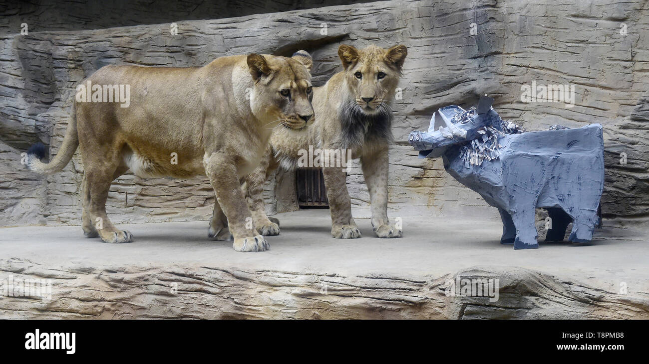 Olomouc Zoo, Czech Republic. 14th May, 2019. About a year old male of Barbary lion Thembi, supervised by its mother lioness Lily, plays with a mock desert warthog to simulate hunting in Olomouc Zoo, Czech Republic, on Tuesday, May 14, 2019. Credit: Ludek Perina/CTK Photo/Alamy Live News Stock Photo