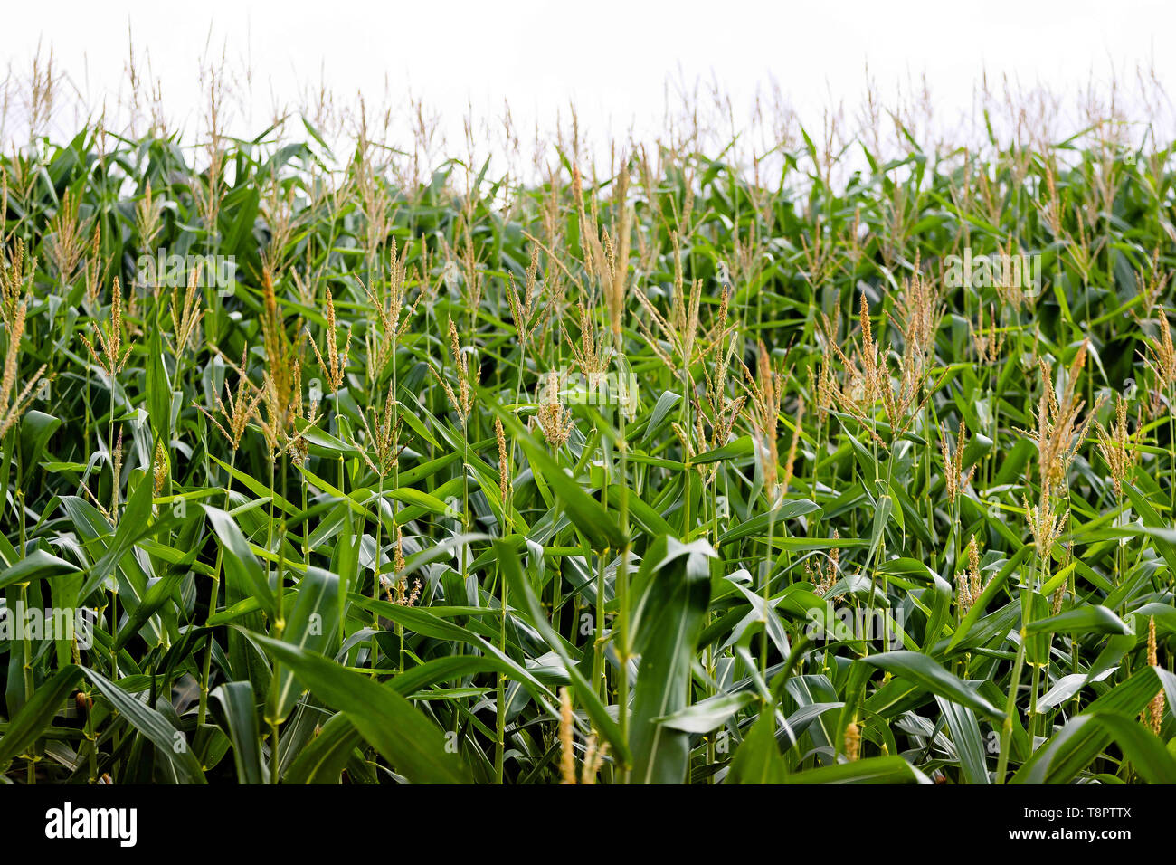 May 12, 2019 - GlóRia De Dourados, Mato Grosso do Sul, Brazil - Full grown maize plants seen in a corn field.Agriculture in Brazil is one of the main bases of the country's economy. Agriculture is an activity that is part of the primary sector where the land is cultivated and harvested for subsistence, export or trade. Credit: Rafael Henrique/SOPA Images/ZUMA Wire/Alamy Live News Stock Photo