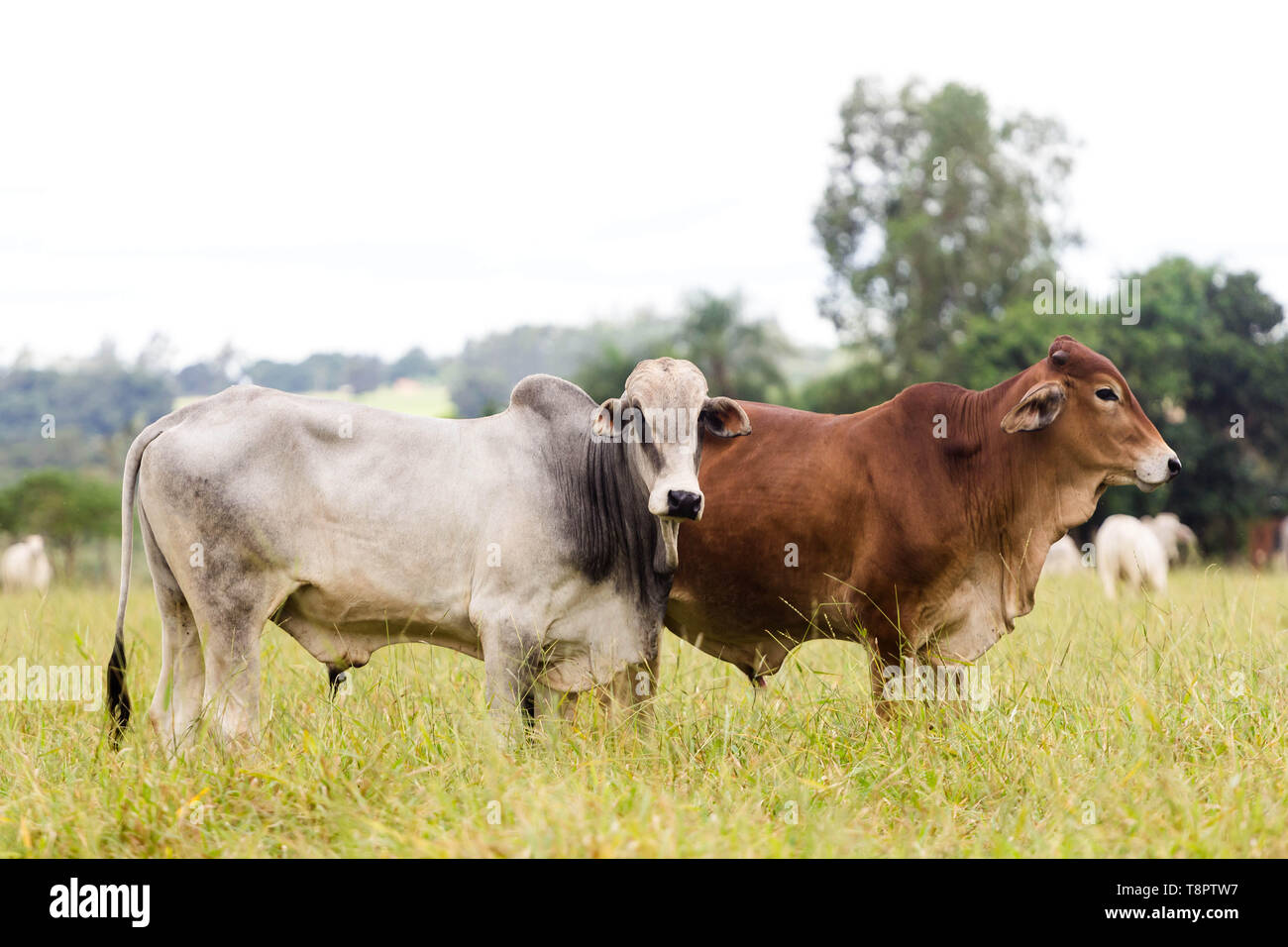 May 14, 2019 - GlóRia De Dourados, Mato Grosso do Sul, Brazil - Cattle seen on a farm in Brazil.Livestock farming has a great relevance in Brazilian exports, in addition to supplying the domestic market. It is an economic activity developed in rural areas.Agriculture in Brazil is one of the main bases of the country's economy. Agriculture is an activity that is part of the primary sector where the land is cultivated and harvested for subsistence, export or trade. Credit: Rafael Henrique/SOPA Images/ZUMA Wire/Alamy Live News Stock Photo