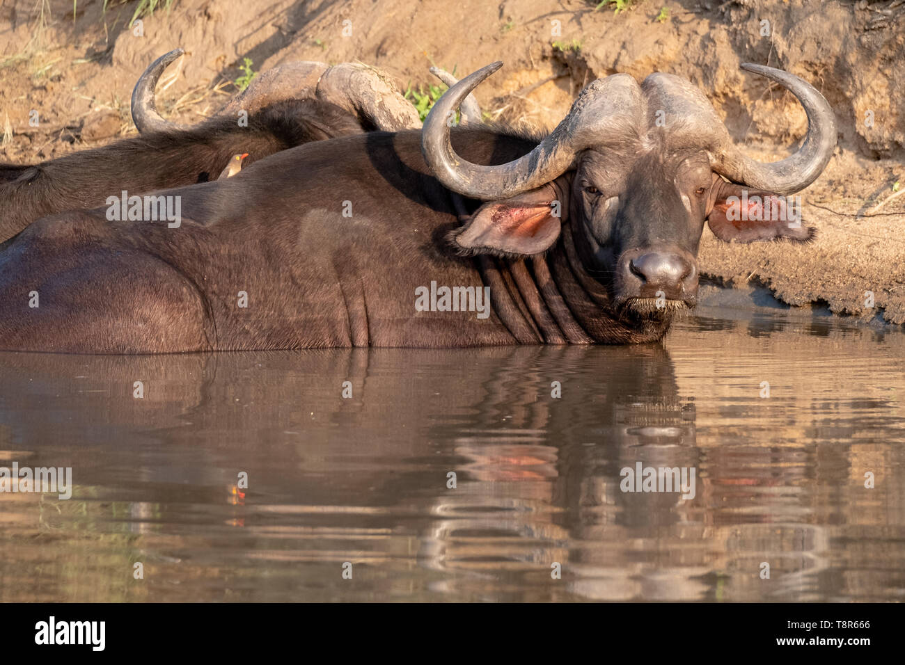 African Buffalo basking in the water in the late afternoon sun, photographed at Kruger National Park in South Africa. Stock Photo