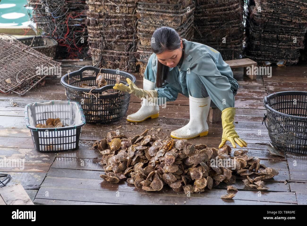 Vietnam, Gulf of Tonkin, Quang Ninh province, Ha Long Bay (Vinh Ha Long), Akoya, Tahitian and Southsea cultured pearls, sorting oysters Stock Photo