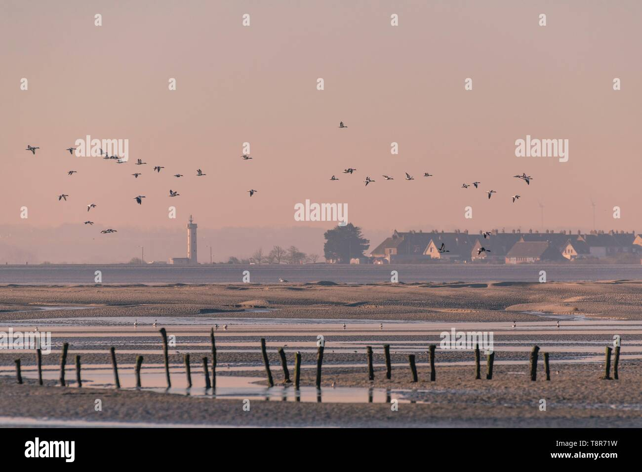 France, Somme, Baie de Somme, Natural Reserve of the Baie de Somme, Le Crotoy, passage of Common Shelducks (Tadorna tadorna ) vis-a-vis the Hourdel in the natural reserve - Stock Image