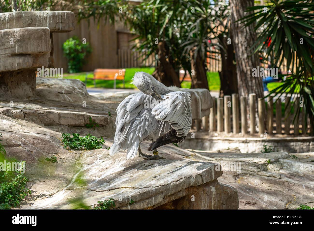 Dalmatian pelican (Pelecanus crispus) in Barcelona zoo. - Stock Image