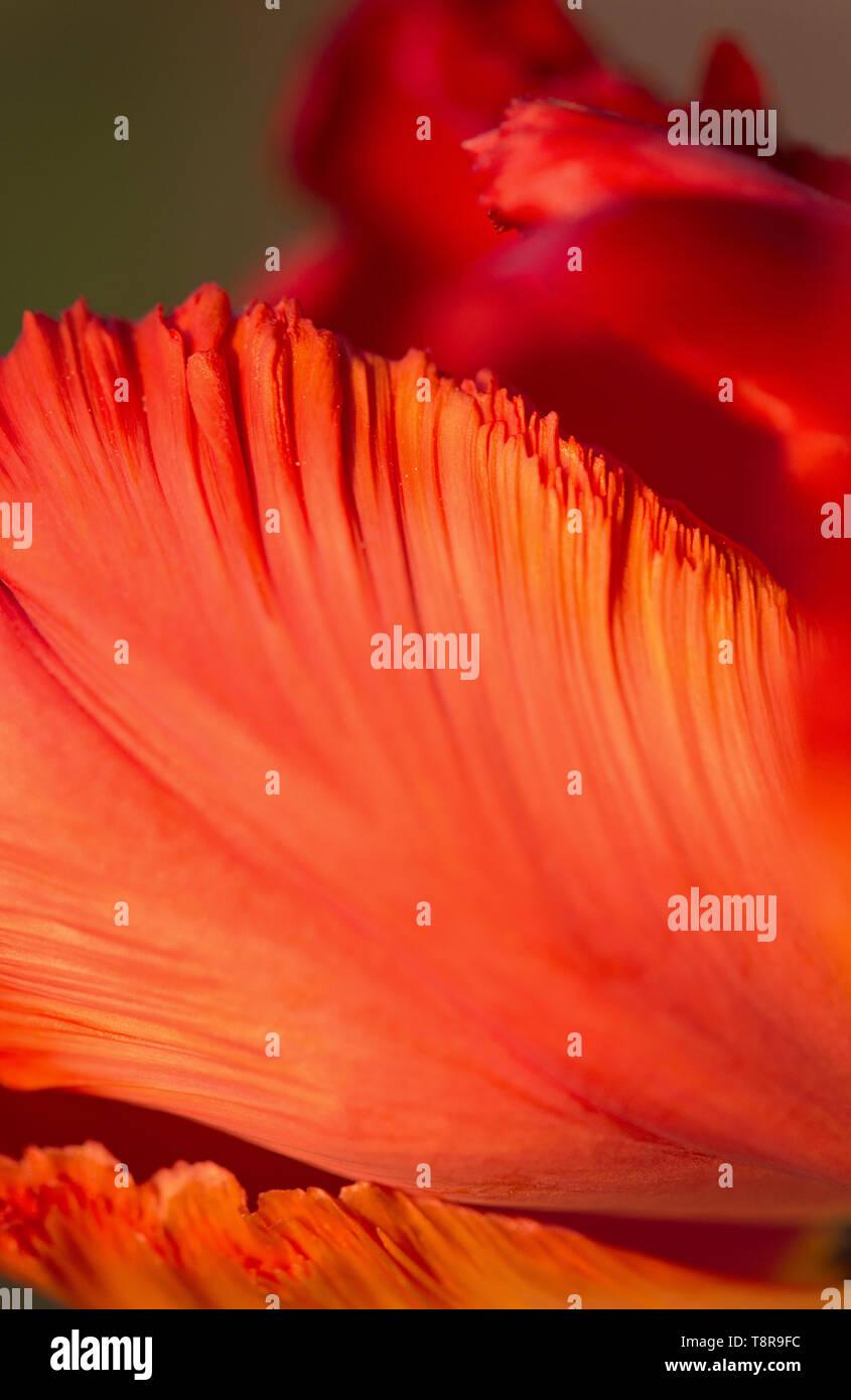 A close up of a tulip petal. - Stock Image