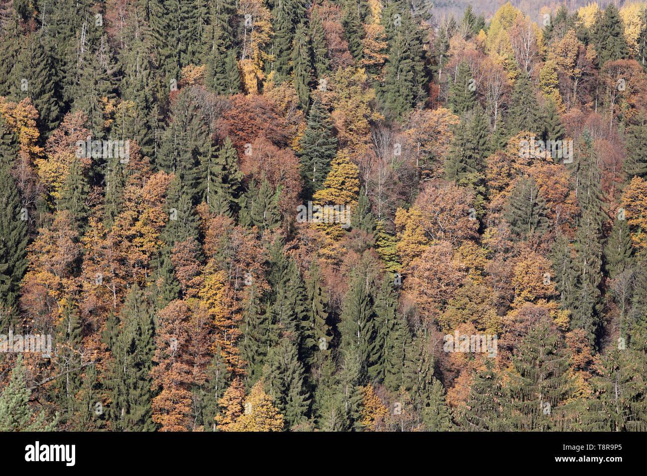 Forêt de conifères en Automne. - Stock Image
